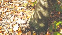 Fallen leaves naturally return organic matter to the soil as they decompose. Homeowners have several options for using leaves in their landscape beyond raking and disposing of them. Contributed photo