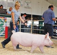 A local 4-H member parades her pig before auction attendees during the 2019 sale. Daily News photo