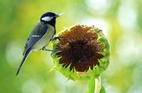Photo credit Pixabay. This garden is providing essential resources to support bird populations. Sunflowers are a good source of seeds for birds such as this titmouse.